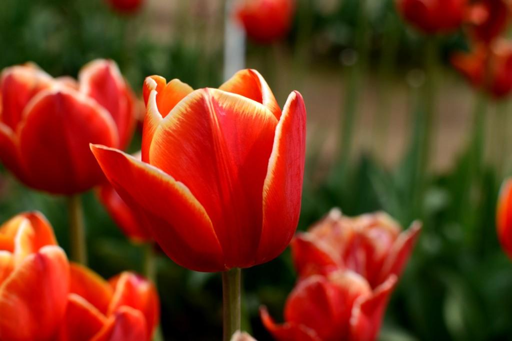 Erin Mckalip - Tulips